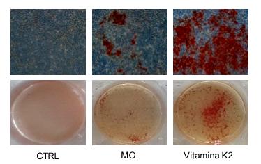 Effetto della vitamina K2 sul processo di calcificazione in cellule staminali.